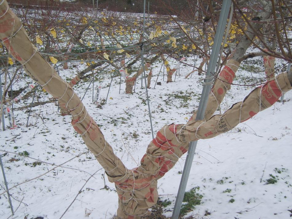 사과 등 과수원 내년 농사는 겨울철 관리부터!