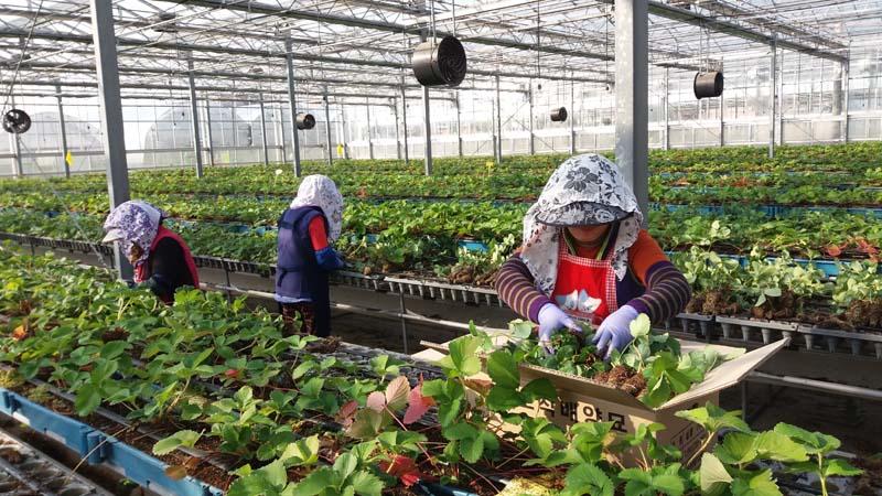 딸기 신품종 '하이베리' 첫 분양 나선다