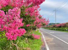 차창 밖 붉은 설렘 가득한 서천 배롱나무 드라이브 길