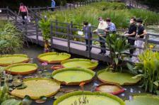 광진구 아차산 생태연못, 희귀한 빅토리아 수련이 활짝!